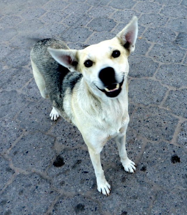 A street dog on the Alameda in Alamos.