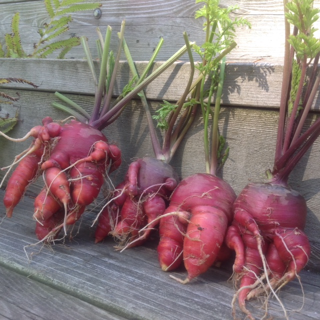 Dragon Carrots, gone wild.