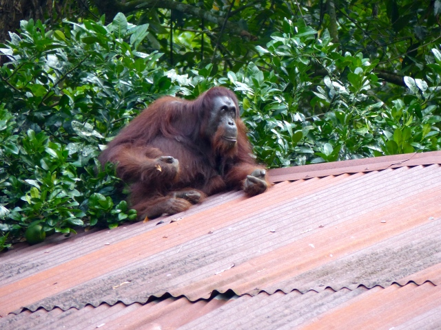 Old female Orang Utan (Pongo pygmaeus) on roof of a building at Gomantong Caves. Photo by Suzanne Winckler