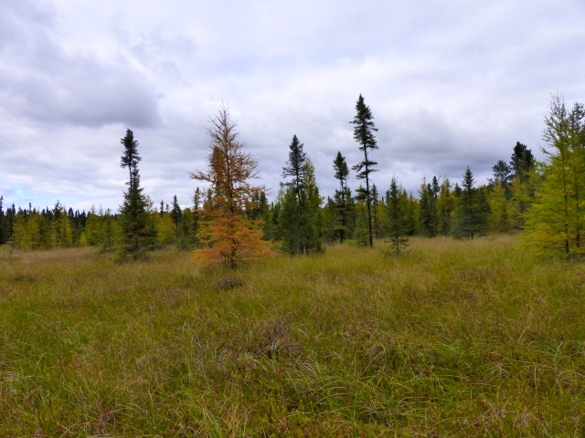 The black spruce and tamarack bog in Pike Township, MN, where we most often pick cranberries.