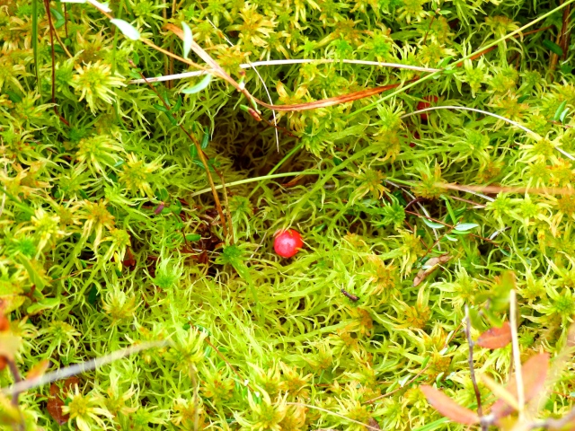 Cranberry on Sphagnum Hummock